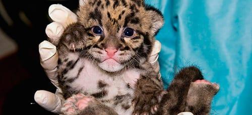 К чему снится ? Леопард во сне — по 90 сонникам! Если видишь во сне Леопард что значит?